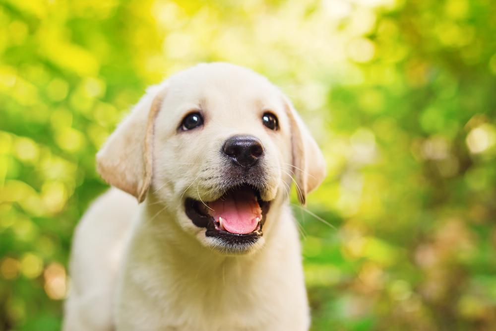 glad-hund
